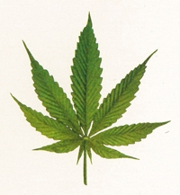 Photo of a cannabis leaf.